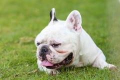Fransk bulldogg som ler på trädgården Royaltyfri Fotografi