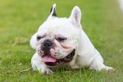 Fransk bulldogg som ler på trädgården Fotografering för Bildbyråer