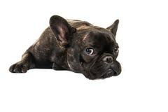 Fransk bulldogg som ner ligger Arkivfoto