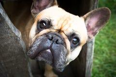 Fransk bulldogg som ser dig härliga ögon Royaltyfri Bild