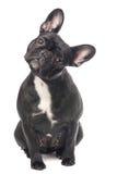 Fransk bulldogg som ser gullig Royaltyfria Foton