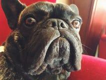 Fransk bulldogg som ser skrämd Arkivfoto