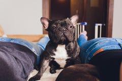 Fransk bulldogg som sitter på soffan - horisontalhund royaltyfria bilder
