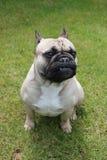 Fransk bulldogg som sitts på gräs Royaltyfri Fotografi