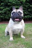 Fransk bulldogg som sitts på gräsståenden Royaltyfria Foton