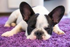 Fransk bulldogg som sover på mattan arkivfoton