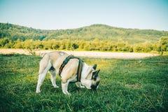 Fransk bulldogg som spelar på grönt gräs royaltyfria bilder