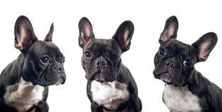 Fransk bulldoggstående royaltyfria bilder