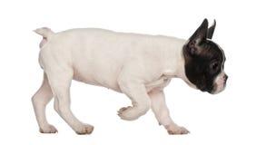 Fransk bulldoggvalp, 10 gammala som veckor går Royaltyfria Foton