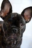 Fransk bulldoggvalp Arkivbild