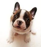 Fransk bulldoggvalp Royaltyfria Bilder