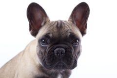 Fransk bulldoggvalp Louis mig Royaltyfri Foto