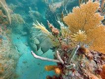 Fransk havsängel bak en havsfan arkivfoton
