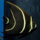 Fransk havsängelPomacanthusparu arkivfoton