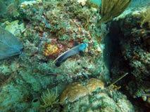 Fransk havsängelsimning bland korall royaltyfri foto
