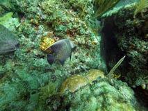Fransk havsängelsimning bland korall arkivbilder
