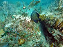 Fransk havsängelsimning bland korall arkivfoton