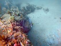 Fransk havsängelsimning bland korall royaltyfri bild