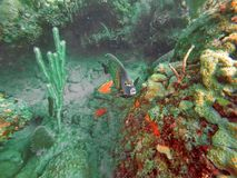 Fransk havsängelsimning bland korall arkivfoto