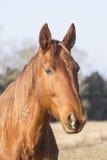 Fransk häst Fotografering för Bildbyråer