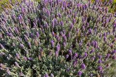 Fransk lavendel blommar spansk lavendel, överträffade lavendelblos Royaltyfri Bild