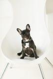 fransk liten valp för bulldogg Royaltyfri Bild