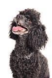 Fransk poodle som ser upp Fotografering för Bildbyråer