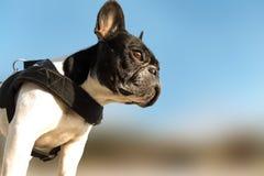 Fransk tjurhund Royaltyfria Bilder