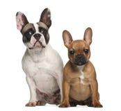 Franska bulldoggar, 2 gammala som år sitter Royaltyfria Foton