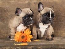 franska bulldoggar Fotografering för Bildbyråer