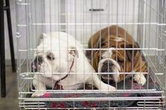 Franska bulldoggar i buren royaltyfri fotografi