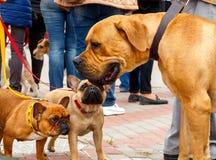 Franska bulldoggar och Boerboel Arkivbild