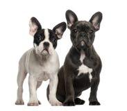 Franska bulldoggvalpar, 4 gammala som månader sitter Royaltyfria Foton