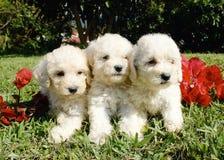 franska poodles Arkivfoton