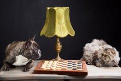 Franska som bulldogplaying kontrollörer med den persiska katten på svart Arkivbilder