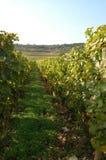 franska vingårdar Royaltyfri Fotografi