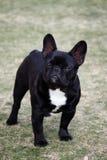 Franskt posera för bulldogg arkivfoton