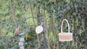 Frantic bluetit at the bird feeder. stock footage