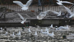 Frantic seagulls. Royalty Free Stock Photos