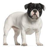 Französische Bulldogge, 1 Einjahres, stehend Lizenzfreie Stockfotografie