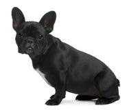 Französische Bulldogge, 12 Monate alte, sitzend Stockbilder