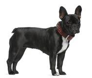 Französische Bulldogge, 12 Monate alte, stehend Stockbild