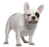 Französische Bulldogge, 12 Monate alte, stehend Stockfotos