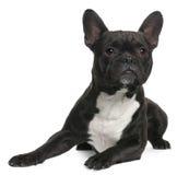 Französische Bulldogge, 18 Monate alte, liegend Stockfoto