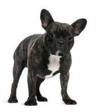 Französische Bulldogge, 18 Monate alte, stehend Lizenzfreies Stockfoto