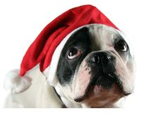 Französische Bulldogge Lizenzfreie Stockfotografie