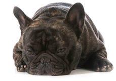Französische Bulldogge Lizenzfreie Stockfotos
