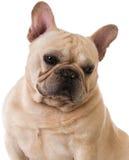 Französische Bulldogge Stockfoto