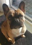 Französische Bulldogge Lizenzfreies Stockfoto