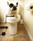 Französische Bulldogge auf dem Thron Lizenzfreie Stockfotos